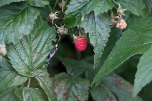 Wild raspberries!